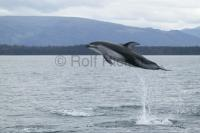 Pacifi White Sided dolphin jumping beside a whale watching boat off Vancouver Island, BC