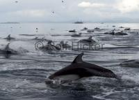 Large Group Dolphins Queen Charlotte Strait