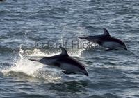 Photo of jumping white sided Dolphins off the British Columbia coast