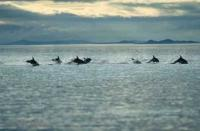 Dolphins Traveling