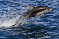 Pacific White Sided Dolphins are beautiful sea creatures and fun to watch.