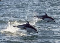 Stock photo of Ocean Creatures, Pacific White Sided Dolphins