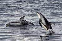 Two playing Dolphins photographed on a dolphin watching tour in British Columbia