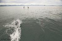 British Columbia Dolphin Picture