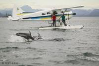 Tourists aboard a float plane not only get to see aerial views of the beautiful ocean and coastal scenery of Vancouver Island but also the playful antics of Pacific White Sided Dolphins turning on scenes of frantic activity as though on cue for a movie.