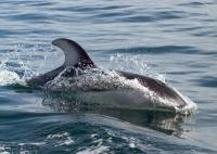 Pacific White Sided dolphins are Ocean Animals found around Northern Vancouver Island in British Columiba.