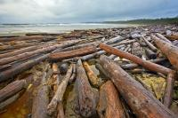 Driftwood is littered along the beach in this coastal scene of Wickaninnish Beach with the rough waters of the Pacific Ocean in the background. This beach is located in Wickaninnish Bay in Pacific Rim National Park on Vancouver Island, BC.