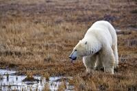 A large polar bear drinks from a still ice-free pond near the shores of Hudson Bay in Manitoba, Canada.