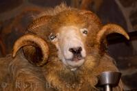 The cute face of the Drysdale Sheep is one of over 600,000 found throughout New Zealand.