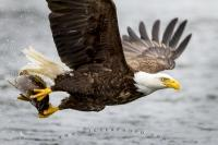 Close up action photograph of a bald eagle with a fish in its talons, photographed in the Great Bear Rainforest in British Columbia, Canada.