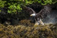 Bald eagle is eating its prey after it drowned a seagull in the Brought Archipelago.