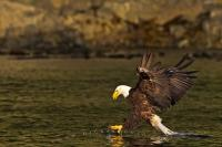A classic photograph of a bald eagle a split second awaya from catching a fish.