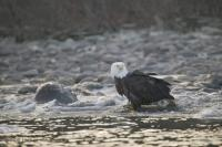 Eagle On River