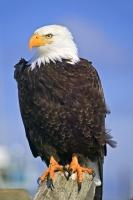 Eagle Portrait With Talons