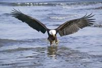 A fully grown Bald Eagle is hunting a fish, photographed near Vancouver Island, British Columbia, Canada