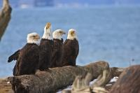 Funny picture of Bald Eagles birds sitting on driftwood along the beach.
