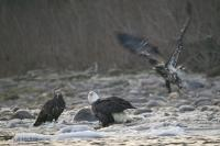 Stock Photo of Bald eagles feeding on fish