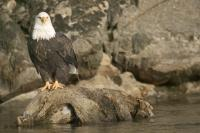 Stock of Big Pictures of Bald Eagle perched on a tree root