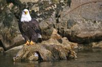 Tree Root Bald Eagle Sitting