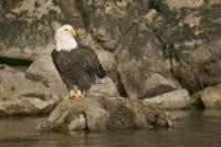 A majestic bald eagle sitting on a rock along the river bank in Brackendale, British Columbia, Canada, Canada.