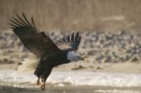 Stock Photo of a Bald Eagle taking off at a river bank.