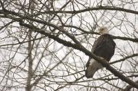Bald Eagle Sitting in Tree Pictures of Eagles