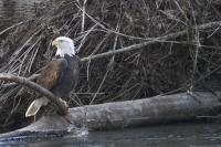 Stock Photos of Bald Eagles perched on branches near a river