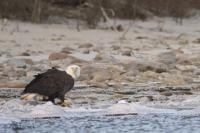 photos of american bald eagle
