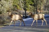 A couple of Roosevelt Elk cross the road in the Hoh Rainforest area of the Olympic National Park of Washington, USA.