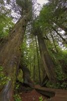 The Rainforest Trail in Pacific Rim National Park's Long Beach Unit is like walking through an enchanted, magical forest with tall trees, moss laden roots, and lush green foliage. Pacific Rim National Park is situated on the West Coast of Vancouver Island