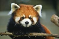 Stock photo of one of the mammals found on the Endangered Animal List a cute Red Panda.
