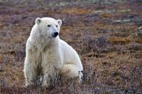 Through early ice break up in arctic regions such as Hudson Bay in Manitoba, Canada (as a result of global warming) as well as through pollution, the polar bear has been deemed a threatened animal under the Endangered Species Act of the USA.