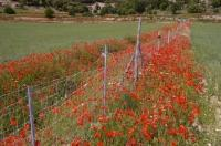Red poppies border the wheat fields in the European countryside near Morella, Valencia in Spain, Europe.