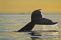 Humpback Whale Tail at sunset, beyond the sea