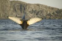 photos of humpback whales