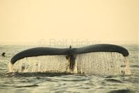 Humpback Whale Endangered Fluke Sunset
