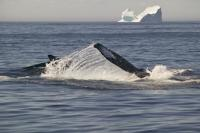 humpback whales and icebergs