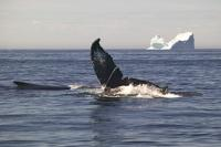 Humpback Whale And Iceberg Newfoundland