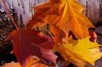 Fall Maple Leaf Impression