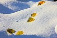 Like a trail of breadcrumbs on the fresh snow, the pretty leaves in this picture are tinged with colours of fall which contrast against the bright white snow during early winter in Waterton Lakes National Park, Alberta, Canada.