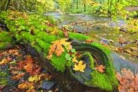 Crisp, lush green moss covers a fallen log on the banks of the river in the pristine Goldstream Provincial Park in Southern Vancouver Island, BC, Canada. During fall the green of the moss contrasts sharply with the colourful leaves.