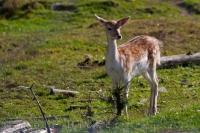 A Fallow Deer listens for unusual sounds across the landscape of Parc Omega in Montebello, Quebec as we take a picture.