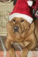 A comical picture of a ginger coloured labrador dog wearing a christmas hat, lying on the hearth of a fireplace.