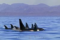 A large Orca whale family pod traveling in front of the scenic coast mountains of British Columbia in western Canada.