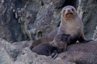 New Zealand Fur Seal Family Reunion