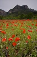 The cliffs of Gorges du Verdon tower above a field of wild red poppies in the Alpes de Haute, Provence, France.