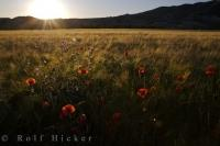 The sunset glistens across a field of wheat and poppies near Puente la Reina de Jaca, Huesca in Aragon, Spain in Europe.