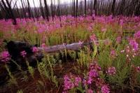 This was once the site of a forest fire and is now a field full of fireweed flowers in the Yukon Territory of Canada.