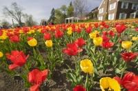 At the annual Ottawa Tulip Festival visitors see fields of tulips in many colors and varieties.