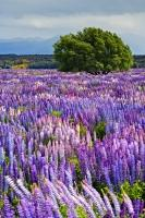 Like a scene from a beautiful floral painting, a field in Fiordland National Park on the South Island of New Zealand, is blanketed by colourful lupins.
